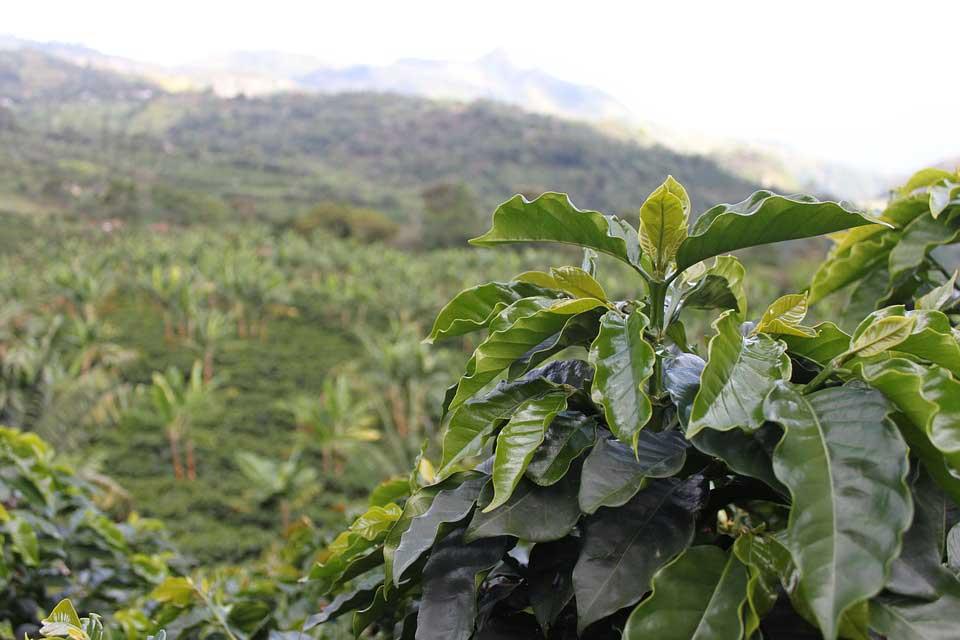 Kaffee Plantage in Kolumbien