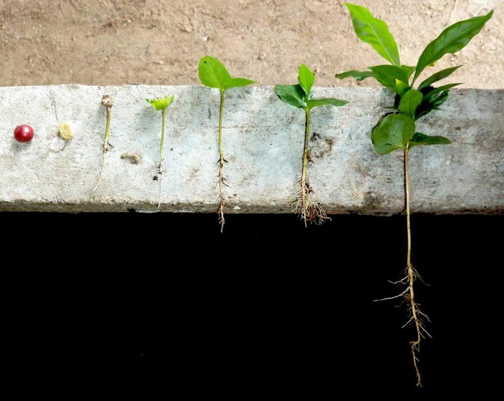 Kaffee von der Frucht zur Pflanze