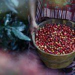 Kaffeeanbau