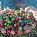 Kaffeebohnen in der Hand eines Plantagen Arbeiters