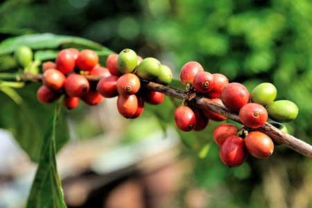 Kaffeekirschen-450