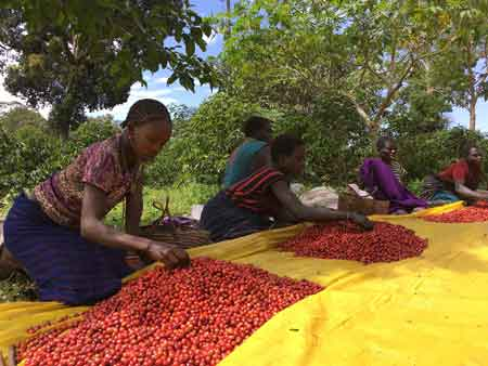Kaffeekirschen sortieren in Äthiopien